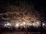 桜(鶴舞公園)